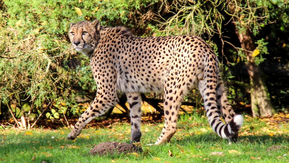 gepard-mercedes-amg-gt-gts-2015
